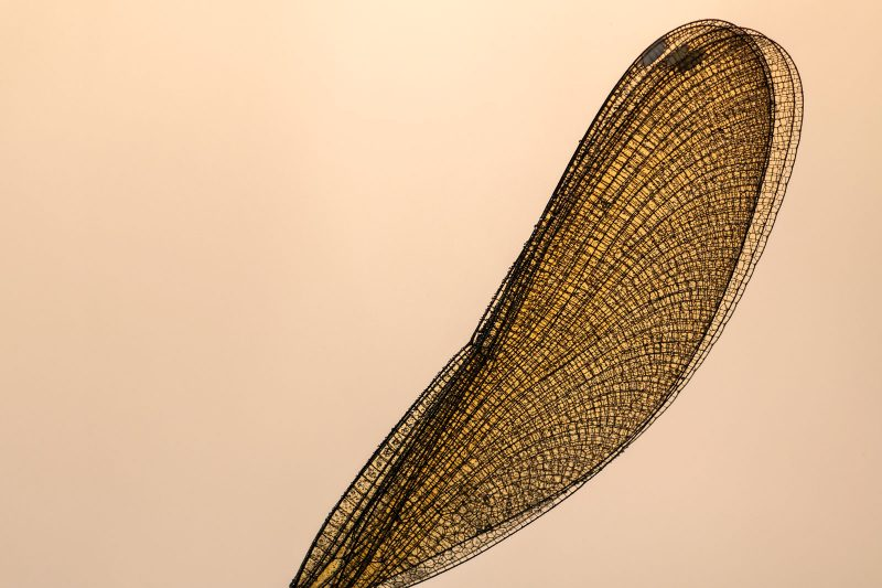 Banded demoiselle wing