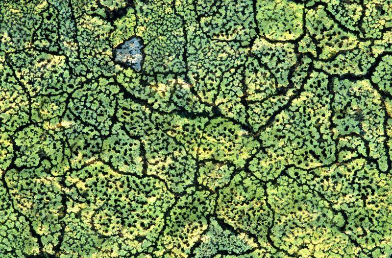 Lichen macro