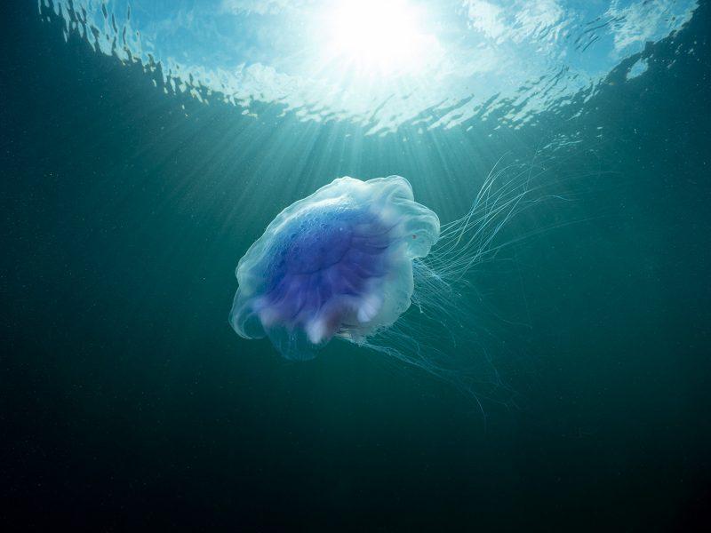 jellyfish in the uk