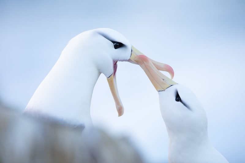 Albatross pair touching beaks