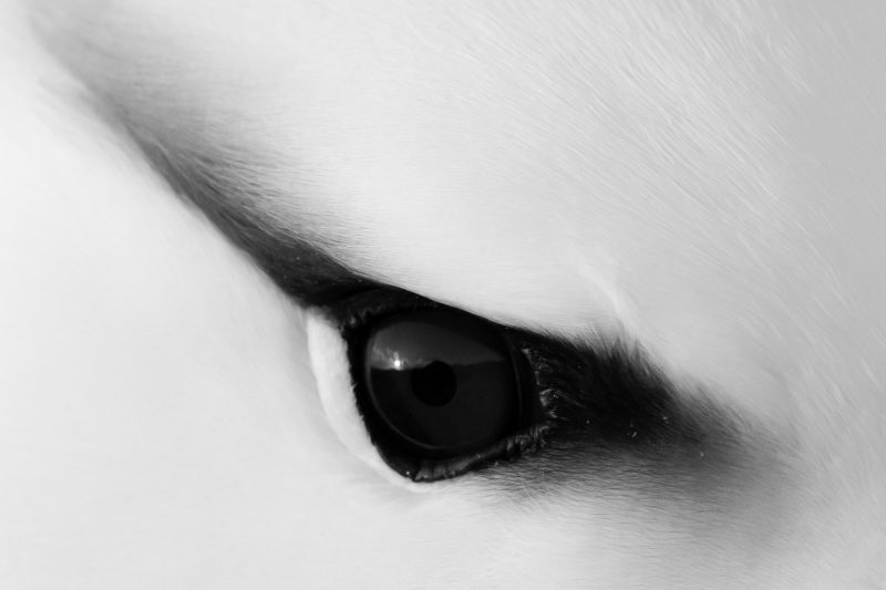 Black and white close up of an albatross eye