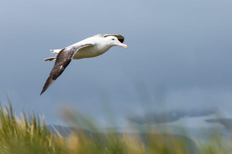 Wandering Albatross in flight