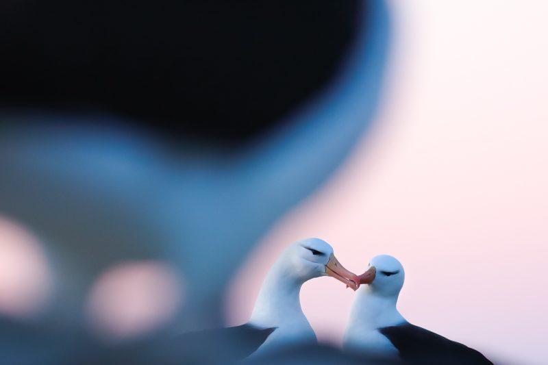 Pair of albatross