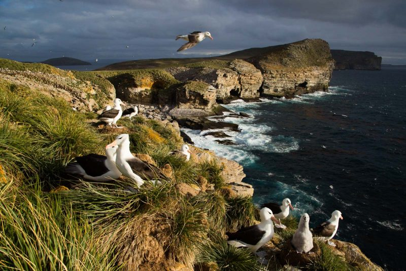 Albatrosses on cliffs