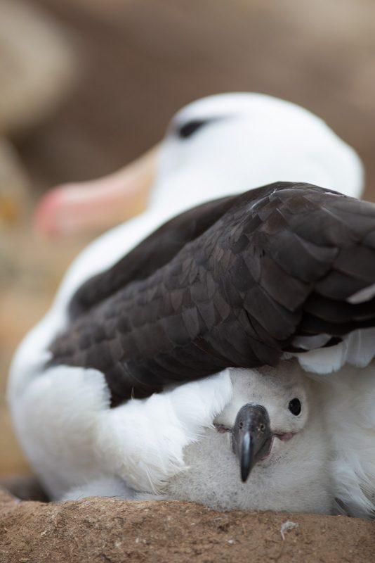 Albatross sitting on chick