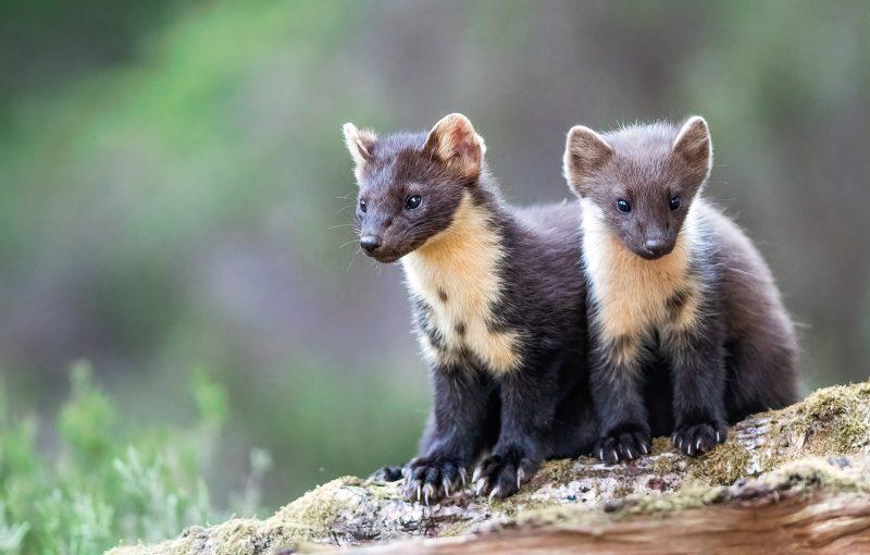 Pine Marten juveniles sat together