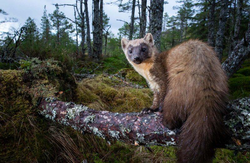 Pine Marten in forest camera trap photo