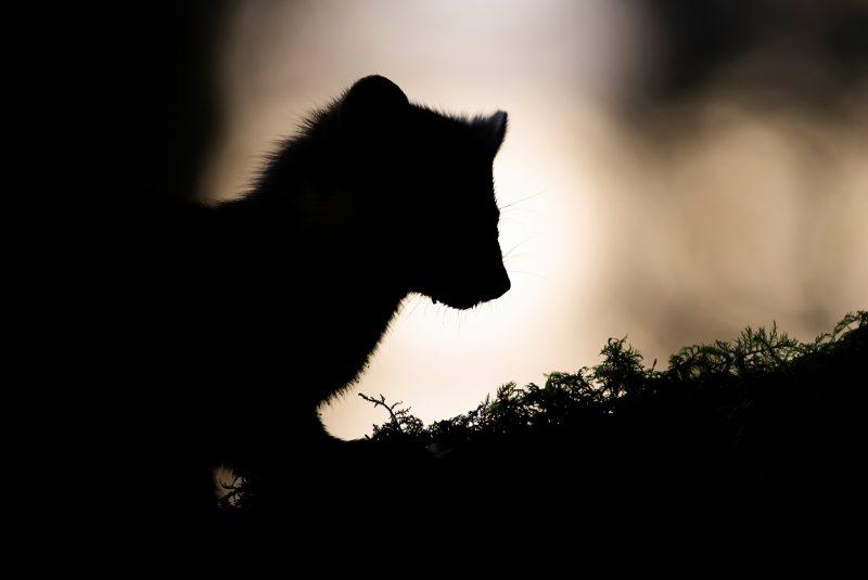 Pine Marten silhouette