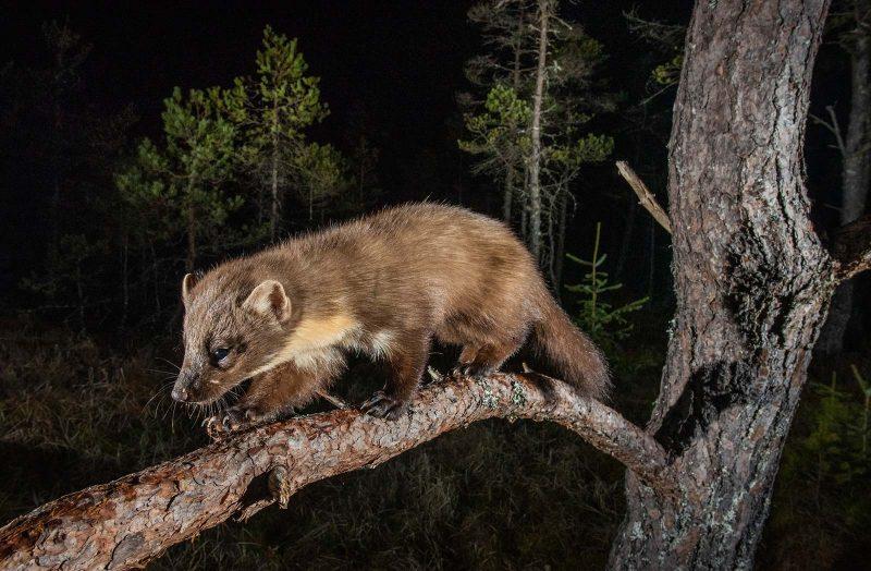 Pine Marten walks along branch at night
