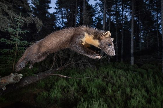 How to Photograph Pine Martens-2