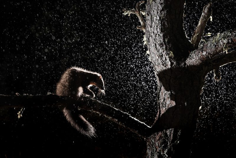 Pine Marten backlit at night